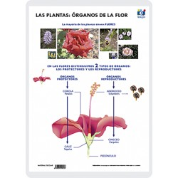 Organs of the flower