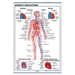 Anatomía - Aparato Circulatorio / Aparato Respiratorio