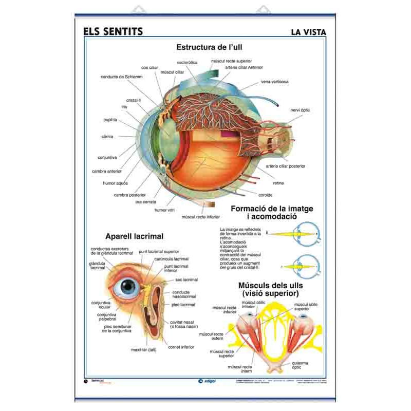 Anatomía - Los Sentidos (la Vista) / Los Dientes
