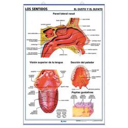 Anatomía - Los Sentidos (el Oído y el Tacto) / (el Gusto y el Olfato)