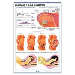 Anatomía - Aparato Reproductor / Embarazo y Ciclo Menstrual