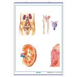 Anatomía - Aparato Digestivo / Aparato Excretor