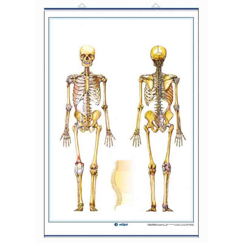 Anatomía - Sistema Esquelético / El Cráneo