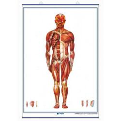 Anatomía - Sistema Muscular (visión anterior) / Sistema Muscular (visión posterior)