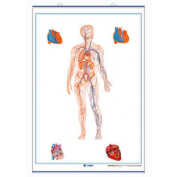 The Circulatory System /...