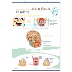 Anatomía - El Gusto / El Olfato - El Tacto