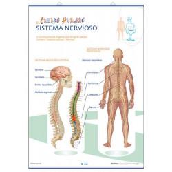 Anatomía - La Musculatura / Sistema Nervioso