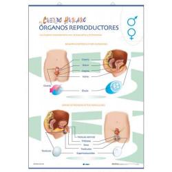 Anatomía - Órganos reproductores / Fecundación y gestación