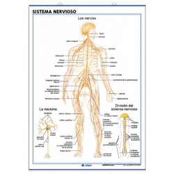 Anatomía - Sistema Nervioso / El Encéfalo