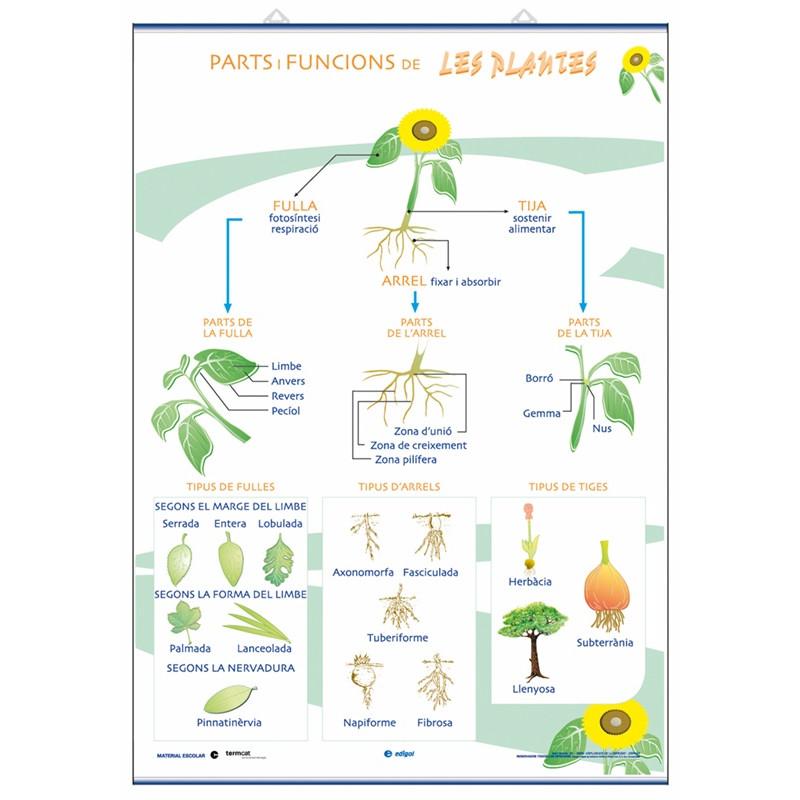 Ciencias - Partes de las plantas y sus funciones / La Nutrición, la fotosíntesis y  la respiración