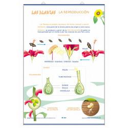 Ciencias - Órganos de la flor / La Reproducción